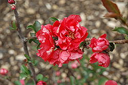 Double Take Pink™ Flowering Quince (Chaenomeles speciosa 'Double Take Pink Storm') at Valley View Farms