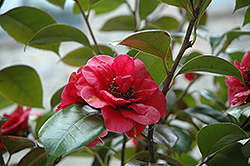 April Tryst Camellia (Camellia japonica 'April Tryst') at Valley View Farms