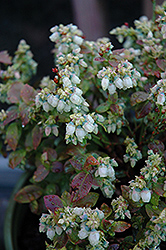 Jelly Bean® Blueberry (Vaccinium 'ZF06-179') at Valley View Farms