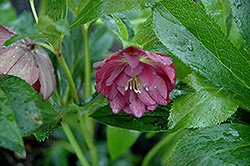 Midnight Ruffles Hellebore (Helleborus 'Midnight Ruffles') at Valley View Farms
