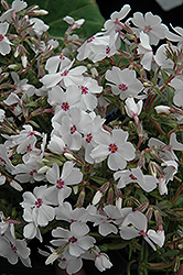 Amazing Grace Moss Phlox (Phlox subulata 'Amazing Grace') at Valley View Farms
