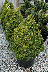 Green Mountain Boxwood (pyramid form) (Buxus 'Green Mountain (pyramid)') at Valley View Farms