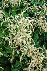 Misty Lace Goatsbeard (Aruncus 'Misty Lace') at Valley View Farms