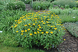 Tuscan Sun False Sunflower (Heliopsis helianthoides 'Tuscan Sun') at Valley View Farms