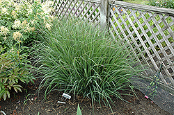Indian Warrior Bluestem (Andropogon gerardii 'Indian Warrior') at Valley View Farms