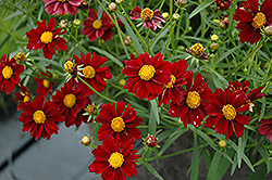Mercury Rising Tickseed (Coreopsis 'Mercury Rising') at Valley View Farms