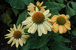 Aloha Coneflower (Echinacea 'Aloha') at Valley View Farms