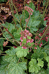 Berry Timeless Coral Bells (Heuchera 'Berry Timeless') at Valley View Farms