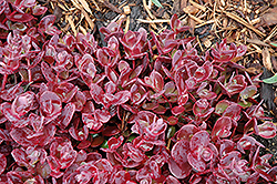 Cherry Tart Stonecrop (Sedum 'Cherry Tart') at Valley View Farms