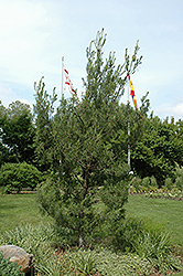 Twisted White Pine (Pinus strobus 'Contorta') at Valley View Farms