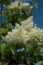 Ivory Silk Tree Lilac (tree form) (Syringa reticulata 'Ivory Silk (tree form)') at Valley View Farms