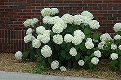 Incrediball® Hydrangea (Hydrangea arborescens 'Abetwo') at Valley View Farms