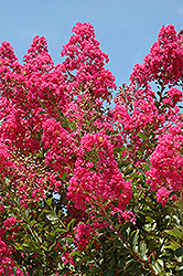 Tuskegee Crapemyrtle (Lagerstroemia 'Tuskegee') at Valley View Farms