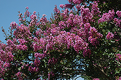 Catawba Crapemyrtle (Lagerstroemia indica 'Catawba') at Valley View Farms