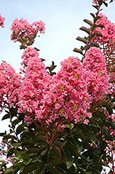 Sioux Crapemyrtle (Lagerstroemia 'Sioux') at Valley View Farms