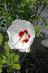 Red Heart Rose Of Sharon (Hibiscus syriacus 'Red Heart') at Valley View Farms