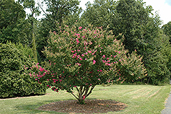 Tonto Crapemyrtle (Lagerstroemia 'Tonto') at Valley View Farms