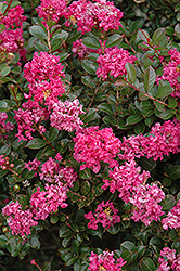 Pocomoke Crapemyrtle (Lagerstroemia 'Pocomoke') at Valley View Farms