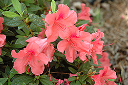 Encore® Autumn Coral™ Azalea (Rhododendron 'Conled') at Valley View Farms