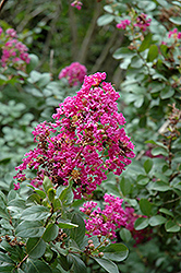 Twilight Crapemyrtle (Lagerstroemia indica 'Twilight') at Valley View Farms