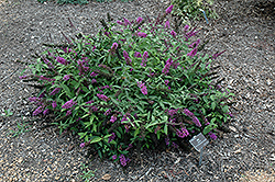 Flutterby Petite® Tutti Fruitti Butterfly Bush (Buddleia davidii 'Podaras 13') at Valley View Farms