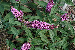 Lo And Behold® Pink Micro Chip Dwarf Butterfly Bush (Buddleia 'Lo And Behold Pink Micro Chip') at Valley View Farms