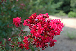 Siren Red Crapemyrtle (Lagerstroemia indica 'Whit VII') at Valley View Farms