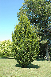 Frans Fontaine Hornbeam (Carpinus betulus 'Frans Fontaine') at Valley View Farms