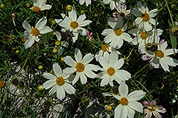 Cosmic Evolution Tickseed (Coreopsis 'Cosmic Evolution') at Valley View Farms