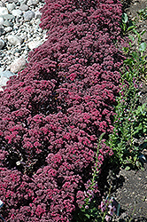 Dazzleberry Stonecrop (Sedum 'Dazzleberry') at Valley View Farms