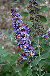 True Blue Butterfly Bush (Buddleia 'True Blue') at Valley View Farms