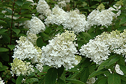Fire And Ice Hydrangea (Hydrangea paniculata 'Wim's Red') at Valley View Farms