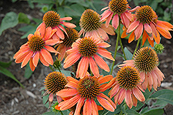 Sombrero® Adobe Orange Coneflower (Echinacea 'Balsomador') at Valley View Farms