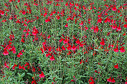 Radio Red Autumn Sage (Salvia greggii 'Radio Red') at Valley View Farms