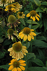 Sombrero® Lemon Yellow Coneflower (Echinacea 'Balsomemy') at Valley View Farms