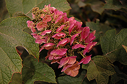 Ruby Slippers Hydrangea (Hydrangea quercifolia 'Ruby Slippers') at Valley View Farms