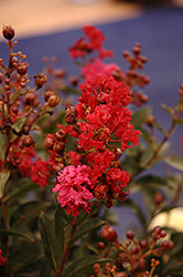Enduring Summer™ Red Crapemyrtle (Lagerstroemia 'PIILAG B5') at Valley View Farms