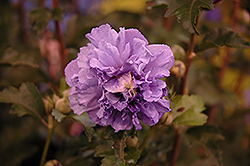 Blueberry Smoothie™ Rose of Sharon (Hibiscus syriacus 'DS01BS') at Valley View Farms