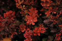 Sunjoy® Mini Salsa Japanese Barberry (Berberis thunbergii 'Mimi') at Valley View Farms