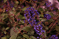 Lo And Behold® Blue Chip Junior Dwarf Butterfly Bush (Buddleia 'Lo And Behold Blue Chip Junior') at Valley View Farms