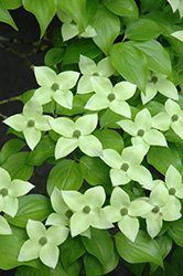 Milky Way Chinese Dogwood (Cornus kousa 'Milky Way') at Valley View Farms