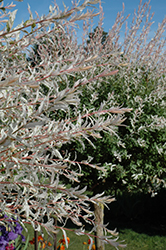 Tricolor Willow (tree form) (Salix integra 'Hakuro Nishiki (tree form)') at Valley View Farms