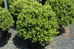 Green Beauty Boxwood (globe form) (Buxus 'Green Beauty (globe)') at Valley View Farms