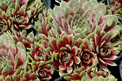 Commander Hay Hens And Chicks (Sempervivum 'Commander Hay') at Valley View Farms