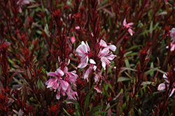 Passionate Blush Gaura (Gaura lindheimeri 'Passionate Blush') at Valley View Farms