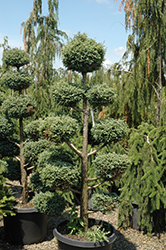 Cyano-Viridis Poodle Form Falsecypress (Chamaecyparis pisifera 'Cyano-Viridis (poodle)') at Valley View Farms