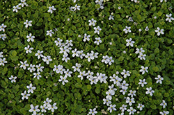 Blue Star Creeper (Isotoma fluviatilis) at Valley View Farms