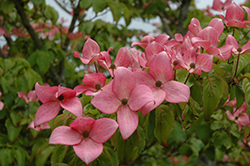 Red Flowering Dogwood (Cornus florida 'var. rubra') at Valley View Farms