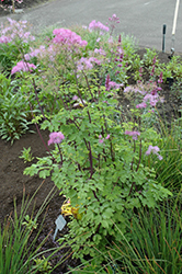 Black Stockings Meadow Rue (Thalictrum 'Black Stockings') at Valley View Farms