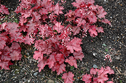 Fire Chief Coral Bells (Heuchera 'Fire Chief') at Valley View Farms